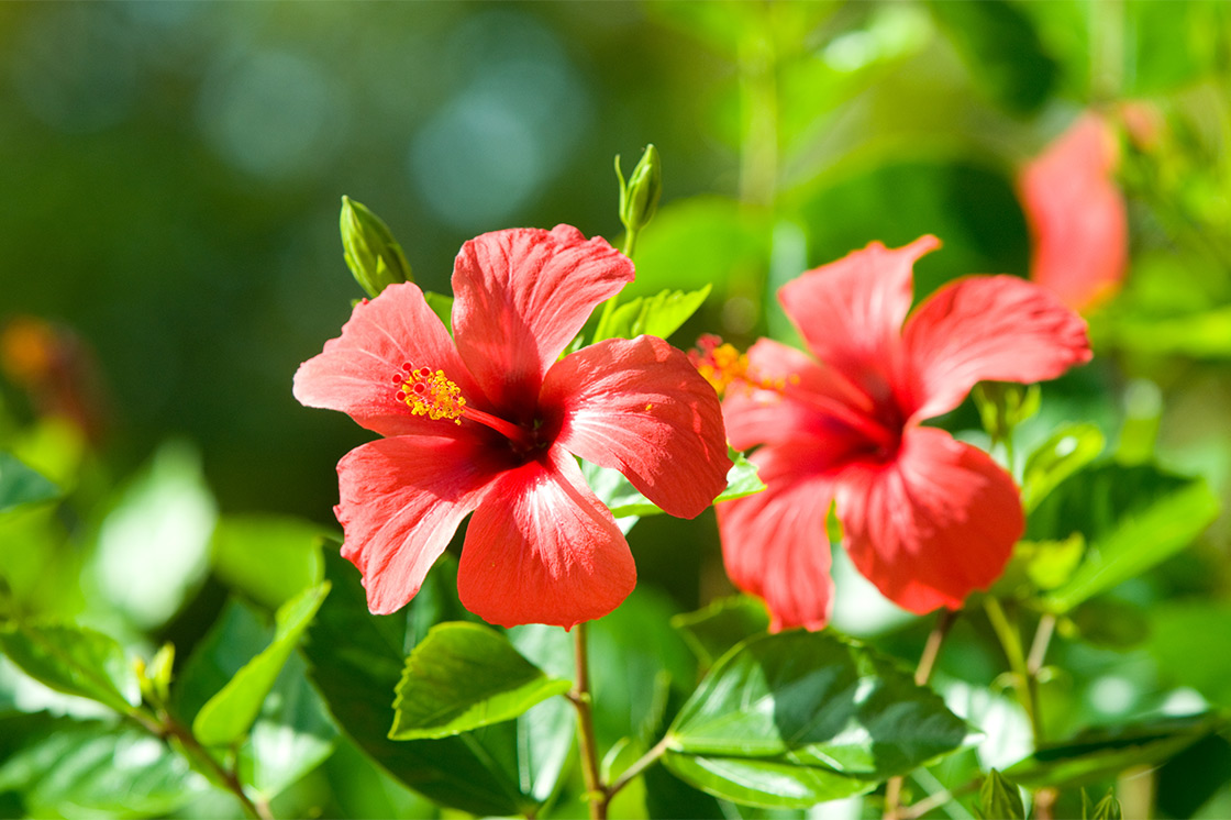 Discover Amazing Hibiscus Tea Benefits Hibiscus Tea Latina Moms
