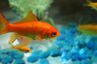 pet-fish-goldfish-kids